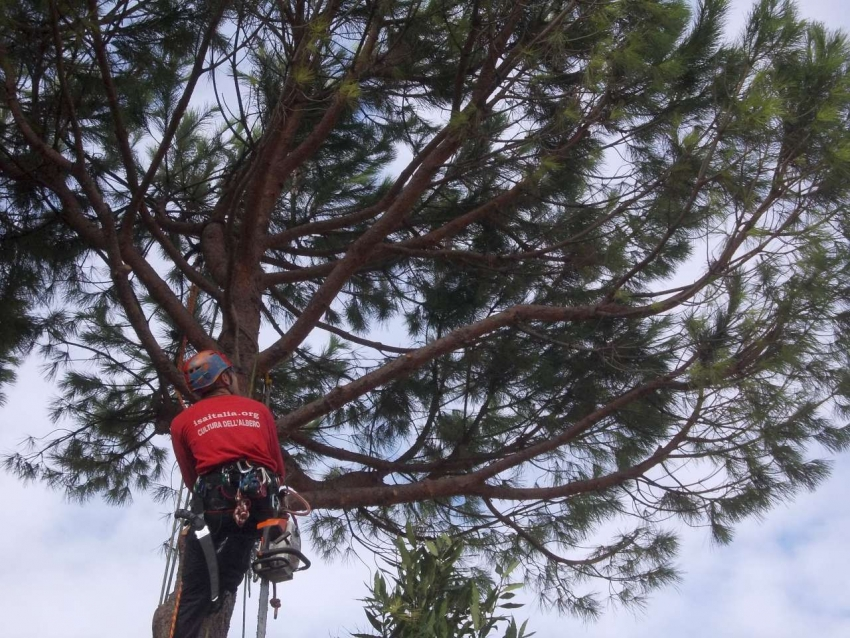 Pruning Pine in Florence